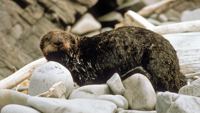 Oiled Sea Otter Hauled Out After the Exxon Valdez Oil Spill