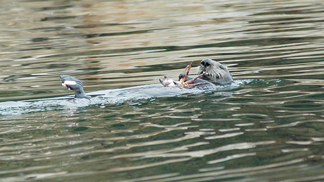 Food Choices and Location Influence California Sea Otter Exposure to Disease