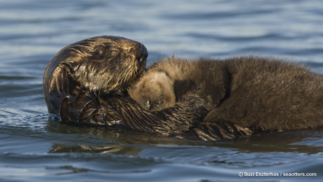 Californians, Please Remember Sea Otters on Tax Day!