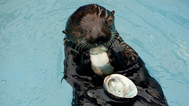 Don't Blame Sea Otters for Abalone Decline