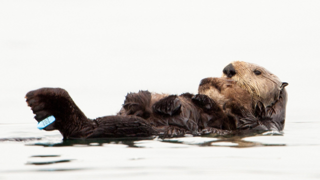 Otter Pup Is First in California Born to Previously Oiled Sea Otter