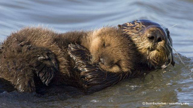 California sea otter numbers take a slight dip from last year, but average count exceeds 3,090 for third consecutive year