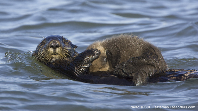 Future Directions in Sea Otter Research and Management