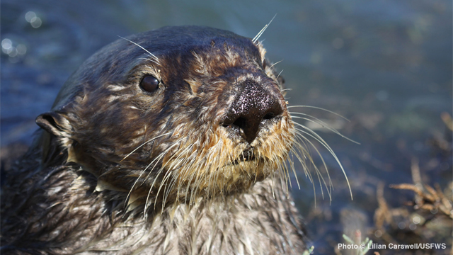 California Man Sentenced for Harassing Federally Threatened Southern Sea Otter, Violating Endangered Species Act