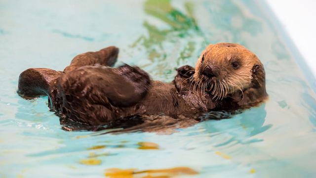 Rescued southern sea otter pup 719