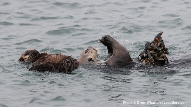 sea otter eating mussels as pup naps