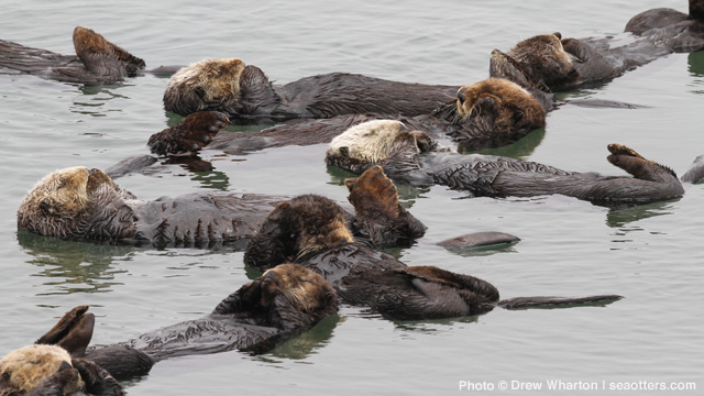 2016 Sea Otter Survey Results Encouraging, But Hurdles For Population Recovery Remain