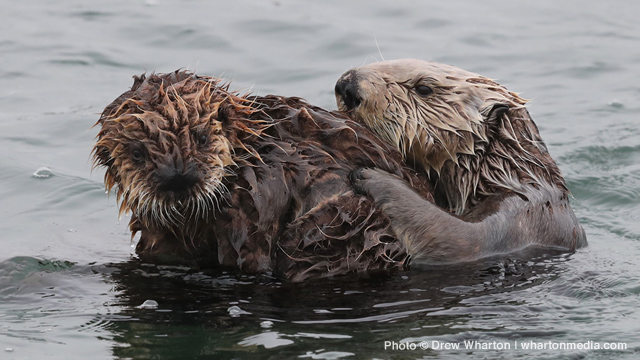 California Sea Otter Fund: $3 Million and Counting…