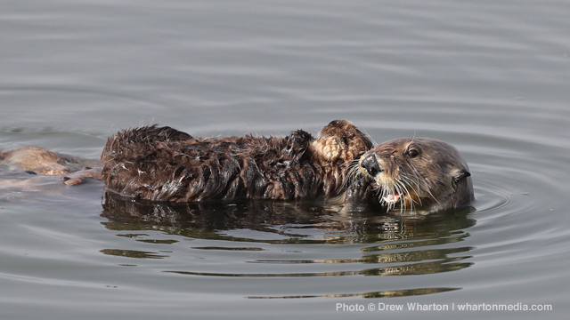 California Sea Otter Numbers Decline, Hurdles for Population Recovery Remain